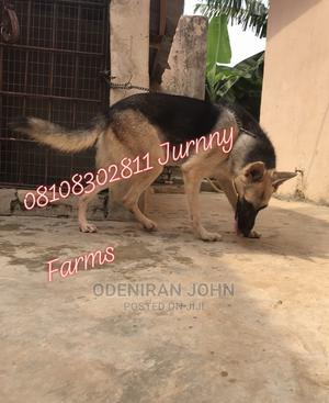 1+ Year Male Purebred German Shepherd | Dogs & Puppies for sale in Lagos State, Ikorodu