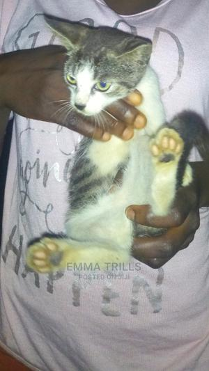 1-3 Month Female Purebred Bombay | Cats & Kittens for sale in Cross River State, Calabar