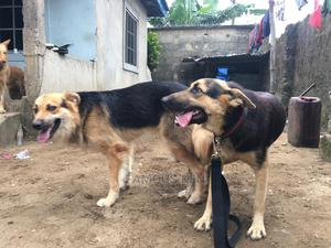1+ Year Male Mixed Breed German Shepherd | Dogs & Puppies for sale in Rivers State, Obio-Akpor