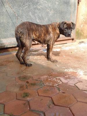 1+ Year Female Purebred Boerboel   Dogs & Puppies for sale in Delta State, Oshimili North