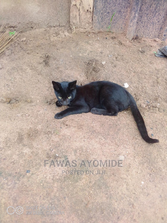 1-3 Month Male Purebred Cat