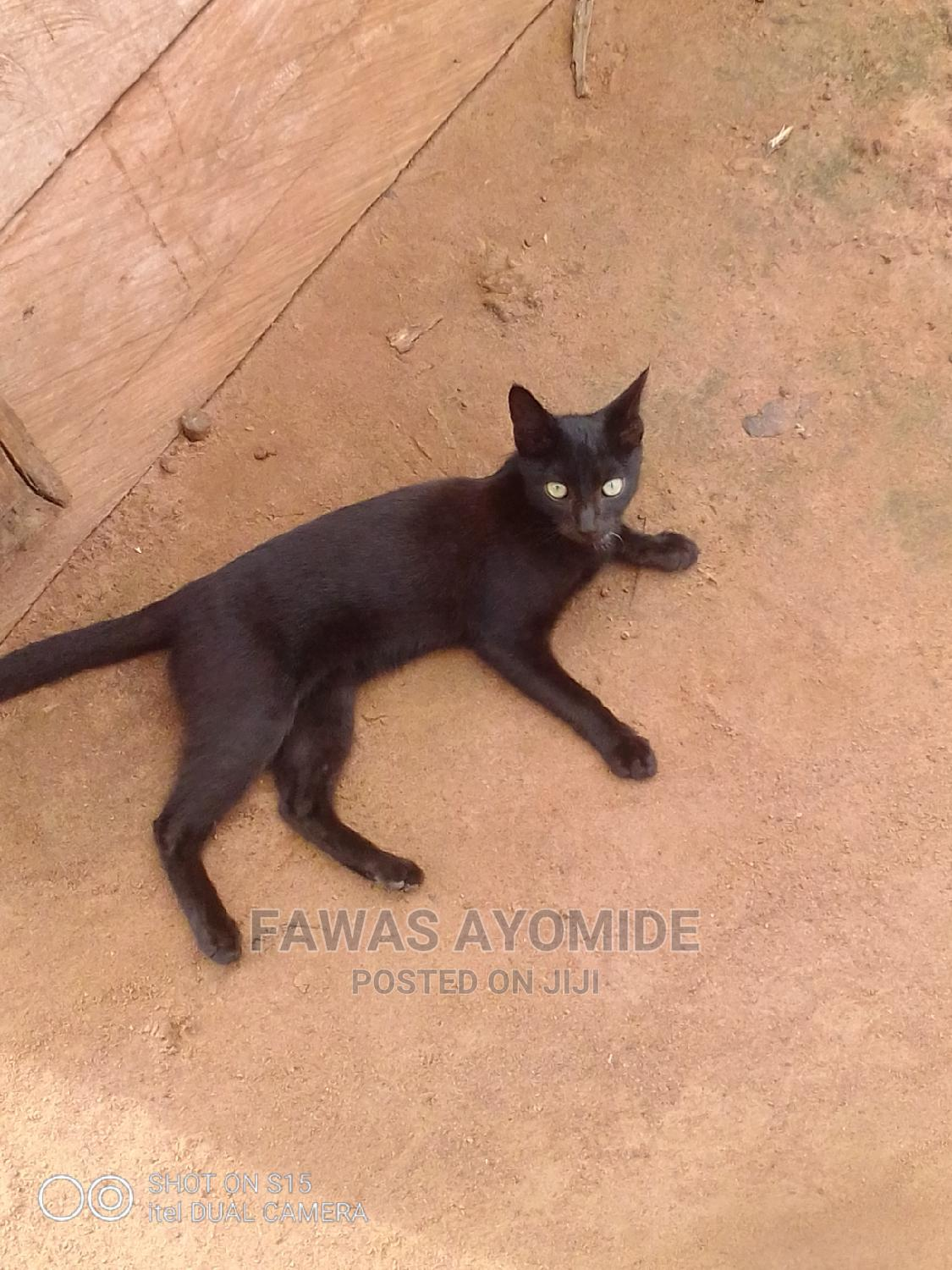 1-3 Month Male Purebred Cat | Cats & Kittens for sale in Ilorin East, Kwara State, Nigeria