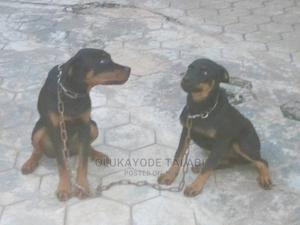 3-6 Month Male Purebred Rottweiler | Dogs & Puppies for sale in Ogun State, Abeokuta South