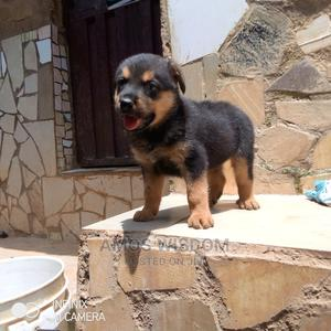 1-3 Month Male Purebred Rottweiler | Dogs & Puppies for sale in Abuja (FCT) State, Mpape