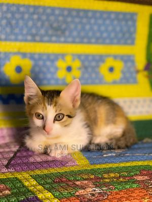 1-3 Month Male Purebred Cat   Cats & Kittens for sale in Lagos State, Maryland