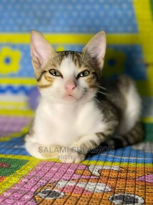 1-3 Month Female Purebred American Shorthair | Cats & Kittens for sale in Lagos State, Maryland