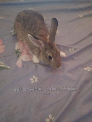Healthy Rabbits   Other Animals for sale in Kaduna State, Kaduna / Kaduna State
