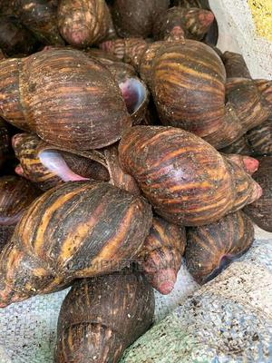 Point of Lay Snails/ Table Size Now Available   Other Animals for sale in Edo State, Benin City