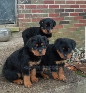 1-3 Month Male Purebred Rottweiler | Dogs & Puppies for sale in Delta State, Warri