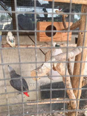 African Grey Parrot (Young) | Birds for sale in Lagos State, Surulere