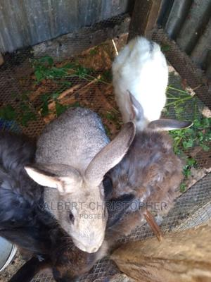Rabbits for Sale | Other Animals for sale in Plateau State, Jos