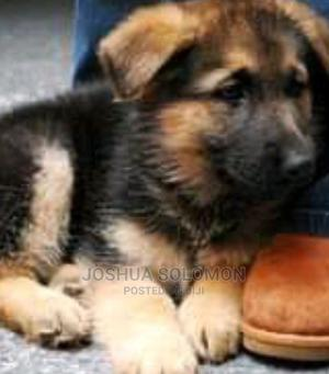 1-3 Month Female Purebred German Shepherd   Dogs & Puppies for sale in Abuja (FCT) State, Jabi