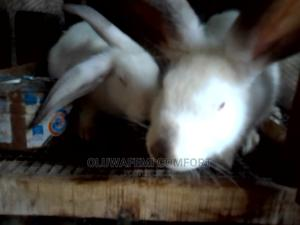 Grower Rabbits   Livestock & Poultry for sale in Oyo State, Ibadan