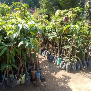 Dwarf Hybrid Seedlings | Feeds, Supplements & Seeds for sale in Lagos State, Oshodi