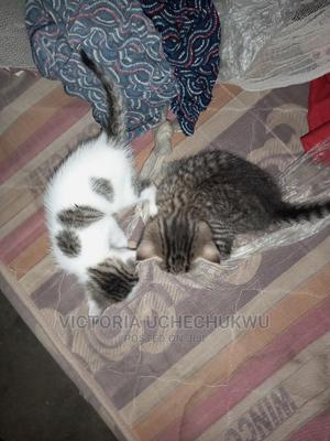 1-3 Month Male Mixed Breed Bengal | Cats & Kittens for sale in Abuja (FCT) State, Lugbe District