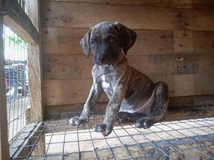 1-3 Month Male Purebred Boerboel | Dogs & Puppies for sale in Lagos State, Badagry
