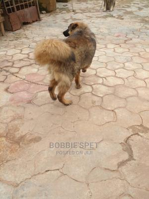 3-6 Month Male Purebred Caucasian Shepherd | Dogs & Puppies for sale in Oyo State, Ibadan