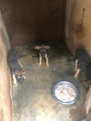 1-3 Month Male Purebred German Shepherd   Dogs & Puppies for sale in Edo State, Benin City