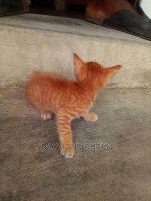 1-3 Month Male Purebred Cat   Cats & Kittens for sale in Lagos State, Ajah