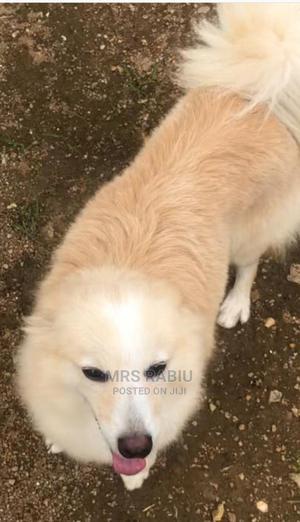 1+ year Female Purebred American Eskimo | Dogs & Puppies for sale in Osun State, Osogbo