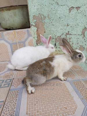 Cute Rabbit   Other Animals for sale in Anambra State, Oyi