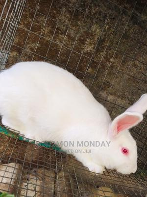 Matured Rabbit for Sale Well Trained | Other Animals for sale in Lagos State, Ajah