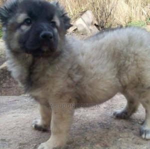 1-3 Month Female Purebred Caucasian Shepherd   Dogs & Puppies for sale in Delta State, Ugheli