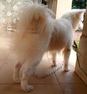 1+ Year Female Purebred Samoyed | Dogs & Puppies for sale in Anambra State, Nnewi