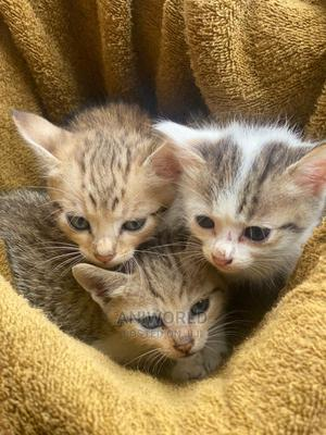 1-3 Month Female Mixed Breed American Shorthair | Cats & Kittens for sale in Lagos State, Ikeja