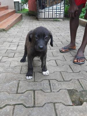 1-3 month Female Purebred German Shepherd | Dogs & Puppies for sale in Abuja (FCT) State, Central Business District