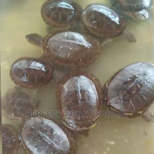 Turtle 10cm | Reptiles for sale in Lagos State, Surulere