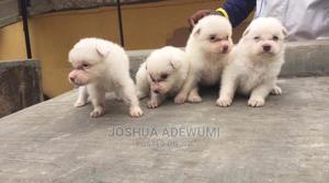 1-3 Month Female Purebred American Eskimo | Dogs & Puppies for sale in Ogun State, Odeda