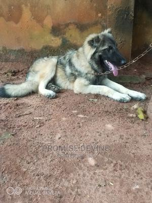 3-6 Month Male Purebred Caucasian Shepherd | Dogs & Puppies for sale in Edo State, Benin City