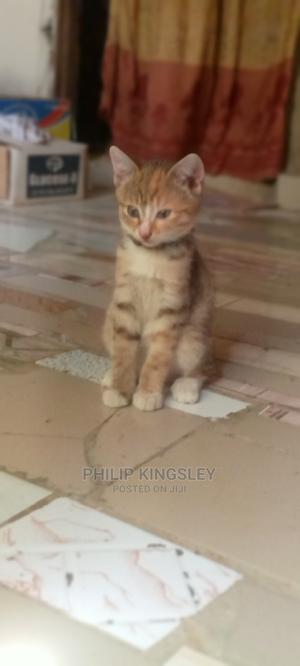 1-3 Month Female Mixed Breed Cat | Cats & Kittens for sale in Abuja (FCT) State, Dutse-Alhaji