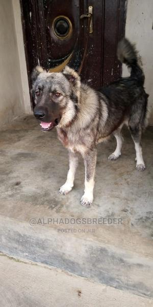 1+ Year Male Mixed Breed Caucasian Shepherd | Dogs & Puppies for sale in Lagos State, Ifako-Ijaiye
