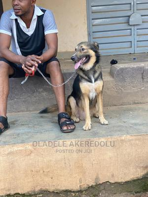 1+ Year Male Mixed Breed German Shepherd | Dogs & Puppies for sale in Lagos State, Alimosho