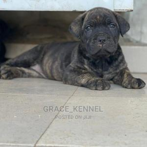 1-3 Month Female Purebred Boerboel | Dogs & Puppies for sale in Lagos State, Lekki