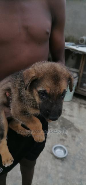 0-1 Month Female Purebred German Shepherd | Dogs & Puppies for sale in Lagos State, Ikorodu