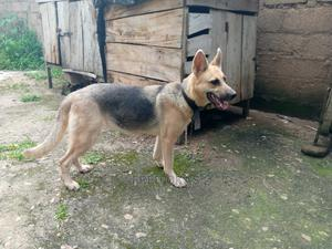 1+ Year Female Purebred German Shepherd | Dogs & Puppies for sale in Plateau State, Jos