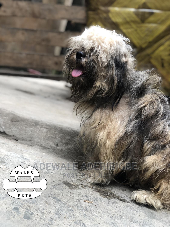 1+ Year Male Purebred American Eskimo | Dogs & Puppies for sale in Ojo, Lagos State, Nigeria