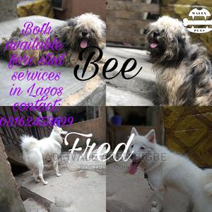 1+ Year Male Purebred American Eskimo | Dogs & Puppies for sale in Lagos State, Ojo