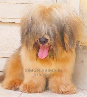 1+ Year Male Purebred Lhasa Apso | Dogs & Puppies for sale in Abuja (FCT) State, Nyanya