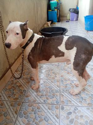 3-6 Month Male Purebred American Pit Bull Terrier | Dogs & Puppies for sale in Lagos State, Amuwo-Odofin