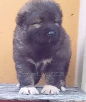 1-3 Month Female Purebred Caucasian Shepherd | Dogs & Puppies for sale in Lagos State, Surulere