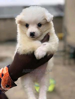1-3 Month Female Purebred American Eskimo | Dogs & Puppies for sale in Abuja (FCT) State, Gwarinpa
