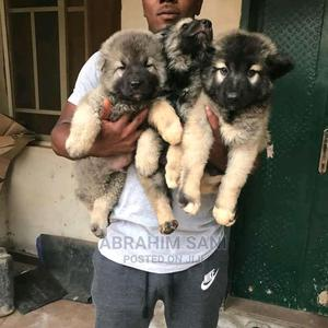 1-3 Month Female Purebred Caucasian Shepherd | Dogs & Puppies for sale in Abuja (FCT) State, Gwarinpa