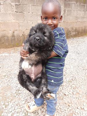 1-3 Month Female Purebred Caucasian Shepherd   Dogs & Puppies for sale in Abuja (FCT) State, Central Business District