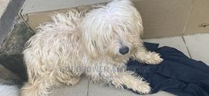1+ Year Male Purebred Lhasa Apso | Dogs & Puppies for sale in Lagos State, Alimosho