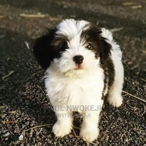 1-3 Month Female Purebred Lhasa Apso   Dogs & Puppies for sale in Lagos State, Ikeja