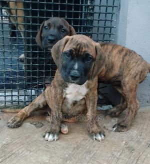 1-3 Month Female Purebred Boerboel   Dogs & Puppies for sale in Ogun State, Abeokuta South